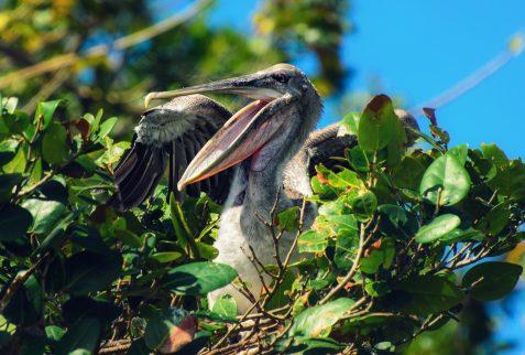 pelicano en los haitises