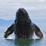 whale watching Samana bay